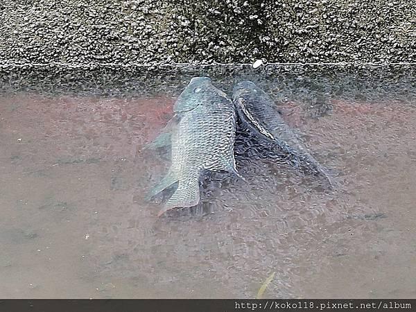 106.5.6 博愛小憩-圳溝裡的魚1.JPG