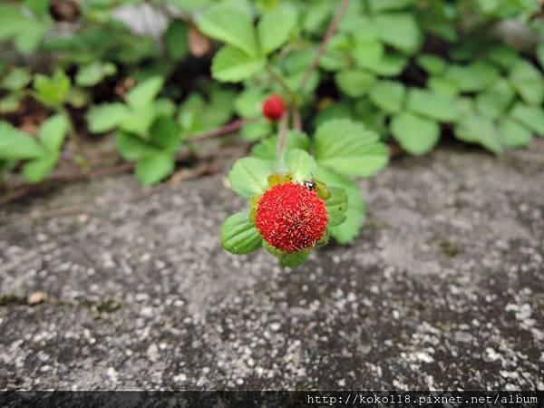 106.5.6 新竹高中-蛇莓.JPG