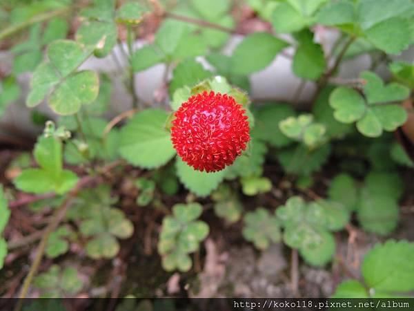 106.5.6 新竹高中-蛇莓3.JPG
