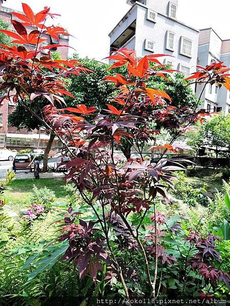 106.5.7 東山濕地生態教學公園步道-紅楓.JPG