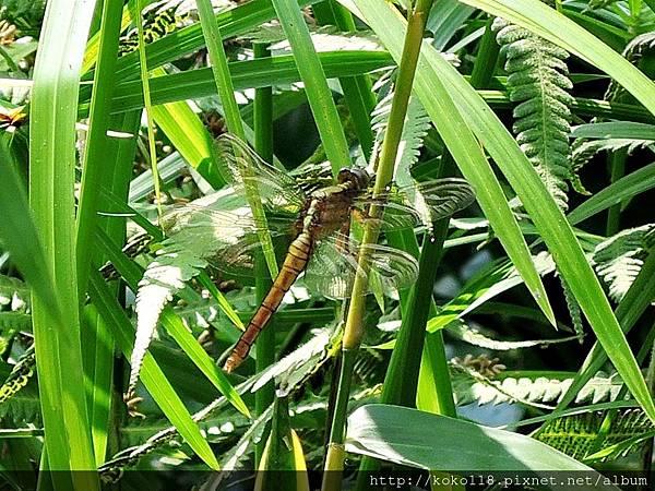 106.5.7 東山濕地生態教學公園-金黃蜻蜓.JPG