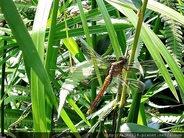 106.5.7 東山濕地生態教學公園-金黃蜻蜓1.JPG