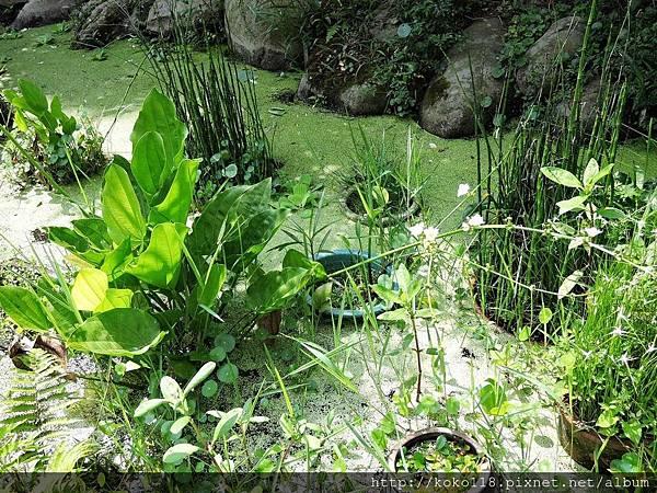 106.5.7 東山濕地生態教學公園-象耳澤瀉1.JPG