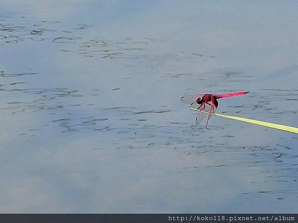 106.6.10 新竹護城河-紫紅蜻蜓1.JPG