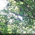 106.6.24 新竹公園-五色鳥2.JPG