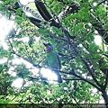106.6.24 新竹公園-五色鳥5.JPG