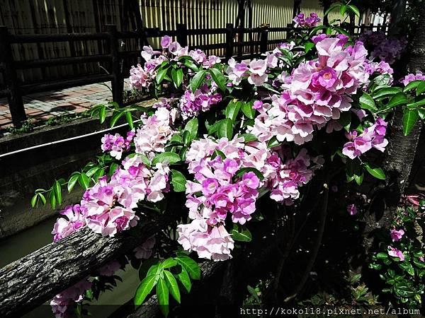 106.7.9 東山濕地生態教學公園-蒜香藤.JPG