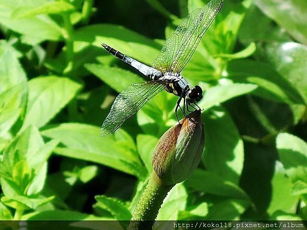 106.7.9 東山濕地生態教學公園-橙斑蜻蜓1.JPG