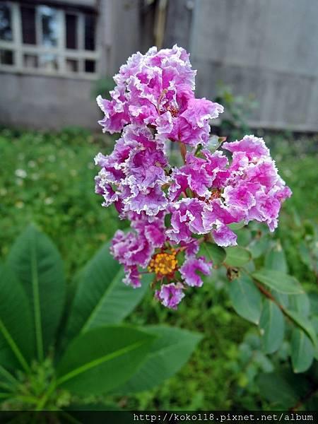 106.9.16 新竹高中-紫薇.JPG