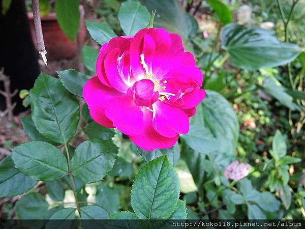 106.12.23 東山濕地生態教學公園-玫瑰2.JPG