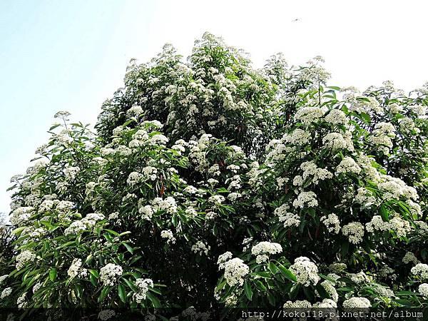 107.3.25 新竹公園-台灣石楠5.JPG