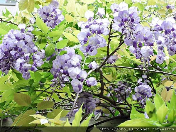 107.4.6 紫藤9.JPG