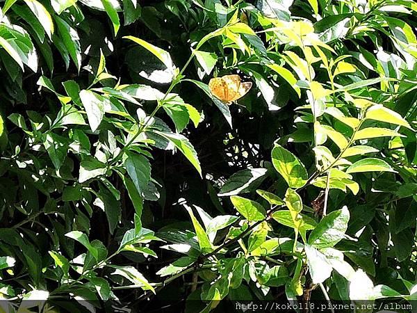 107.4.8 新竹高中-台灣黃斑蛺蝶.JPG