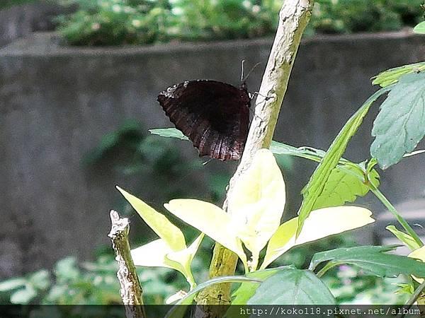 107.4.8 新竹高中-紫蛇目蝶3.JPG