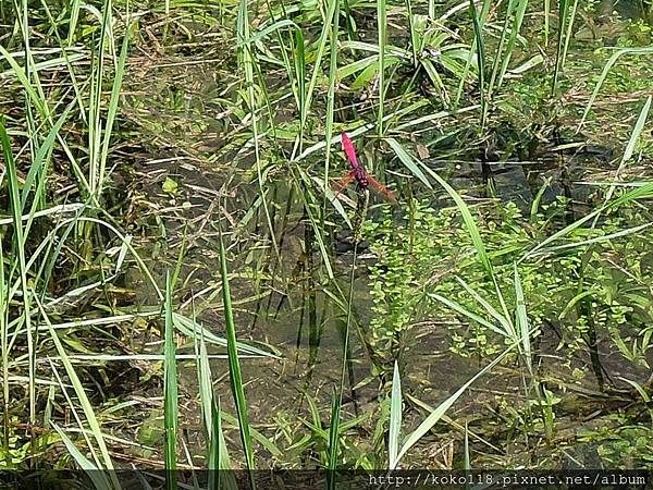 107.4.9 新竹公園-紫紅蜻蜓1.JPG