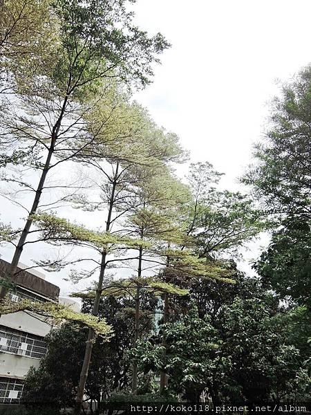 107.4.16 東山濕地生態教學公園外-錦葉欖仁1.JPG