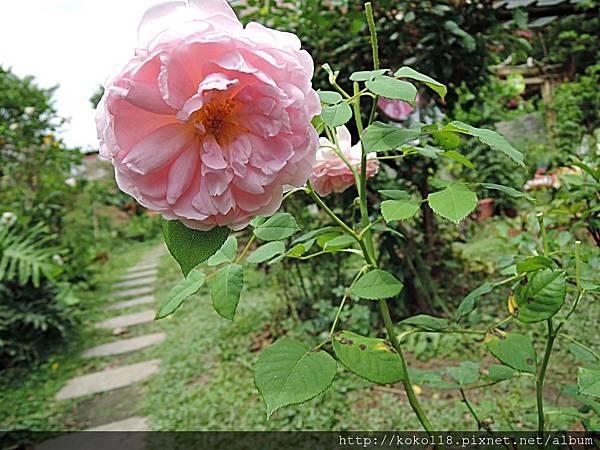 107.4.16 東山濕地生態教學公園-玫瑰.JPG