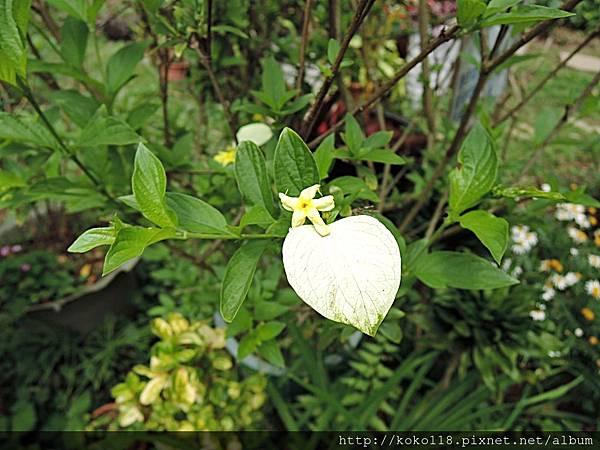 107.4.16 東山濕地生態教學公園-黃萼花.JPG
