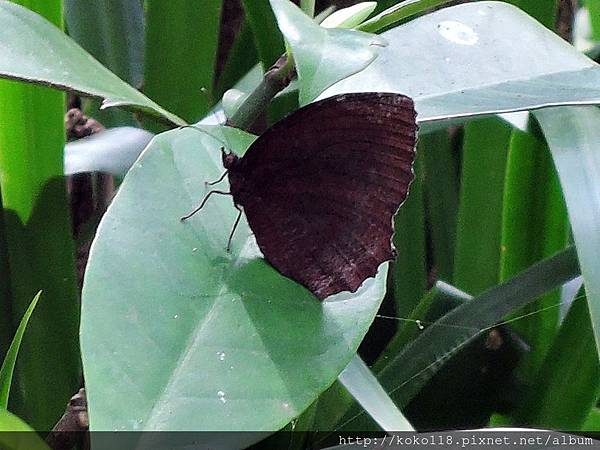 107.7.14 十八尖山-紫蛇目蝶.JPG