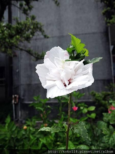107.7.14 新竹高中-木槿.JPG