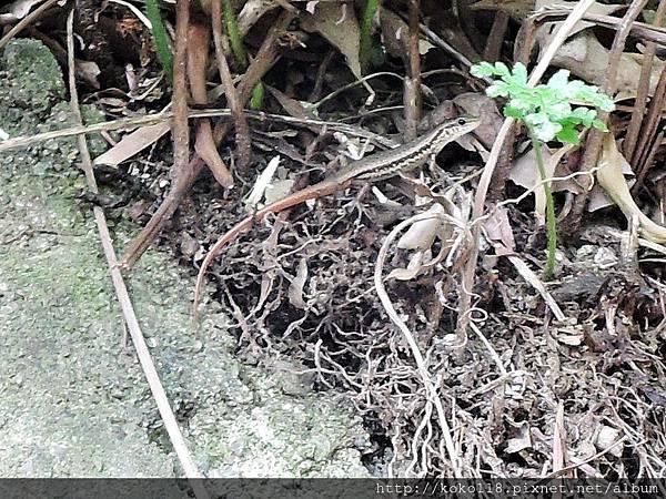 107.7.22 十八尖山-股鱗蜓蜥1.JPG