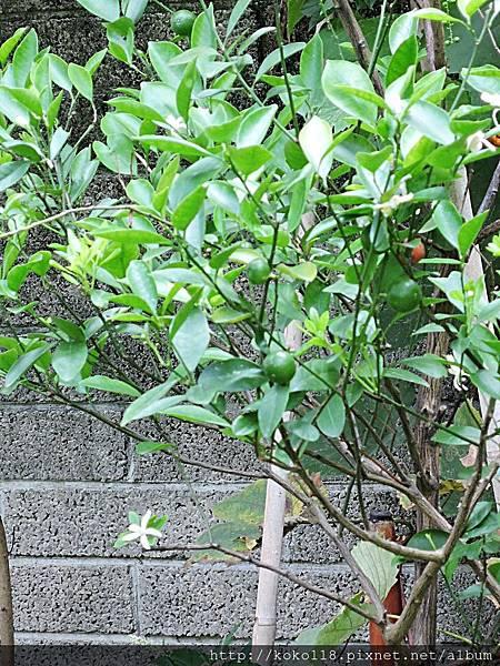 107.7.27 東山濕地生態教學公園-金桔.JPG