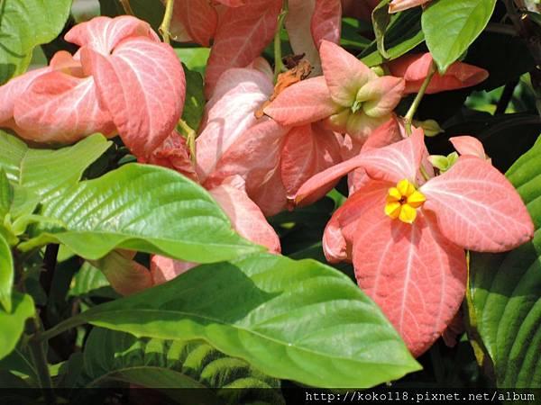 107.7.27 東山濕地生態教學公園-粉萼花.JPG