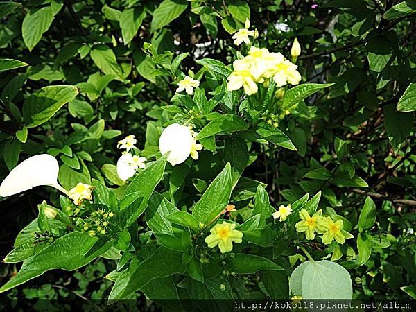 107.7.27 東山濕地生態教學公園-黃萼花.JPG