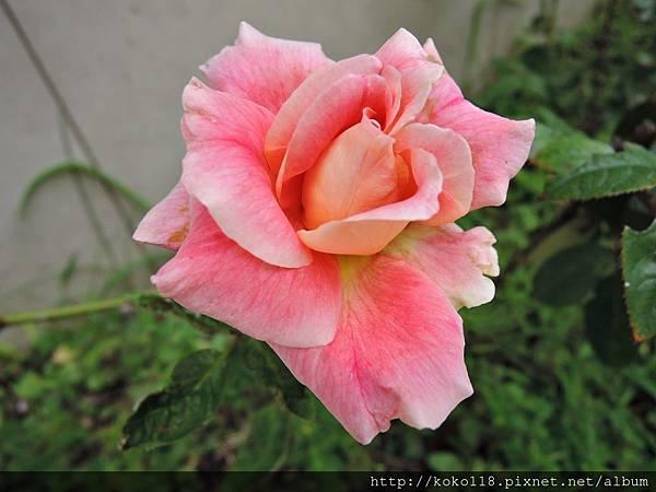 107.8.19 社區-玫瑰.JPG
