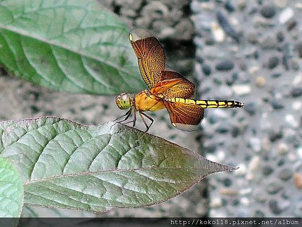 107.9.19 東山濕地生態教學公園-善變蜻蜓(雌)2.JPG
