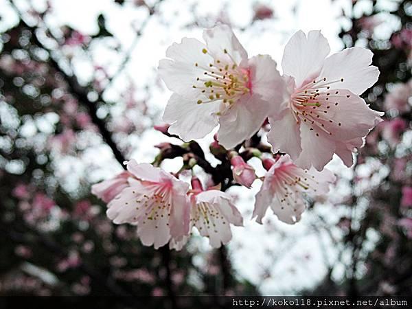 108.2.14 新竹公園-河津櫻.JPG