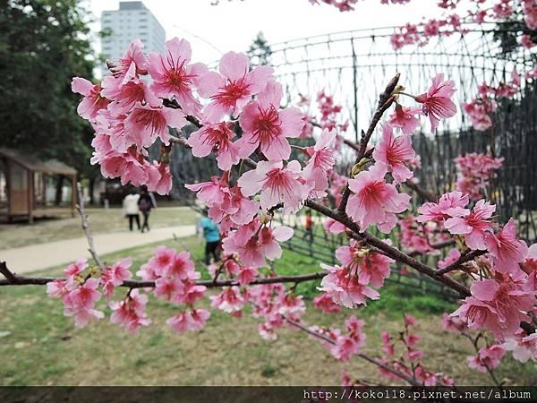 108.2.18 新竹公園-寒櫻12.JPG