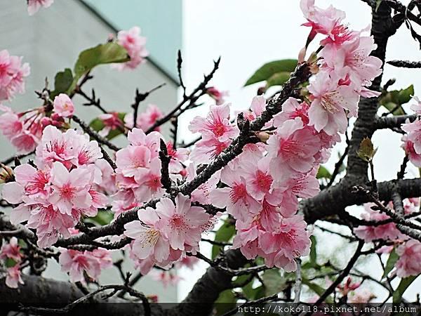108.2.28 新竹公園櫻花廣場-河津櫻31.JPG