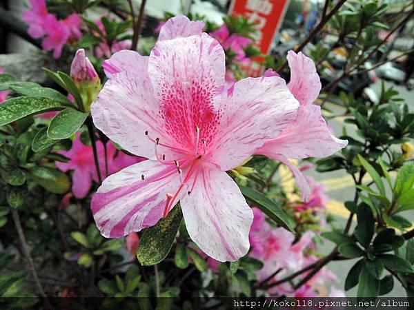 108.3.1 東山濕地生態教學公園外-杜鵑花.JPG
