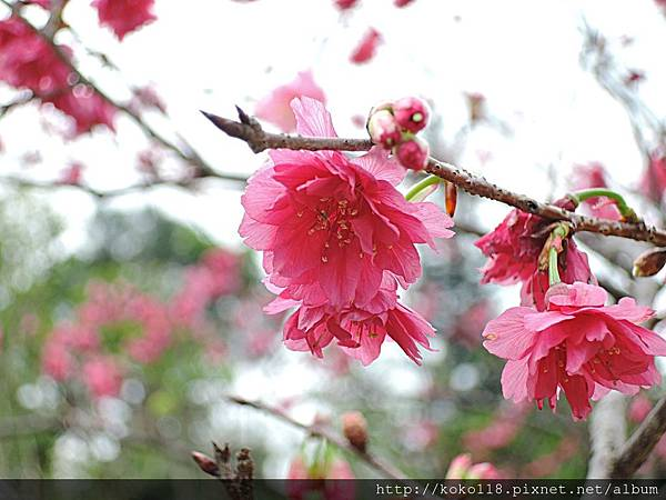108.3.17 新竹公園-八重櫻11.JPG