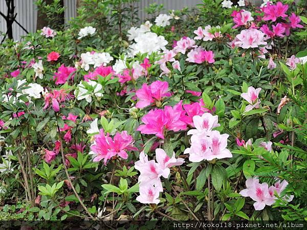 108.3.17 新竹公園-杜鵑花6.JPG