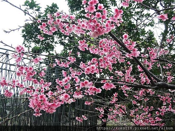 109.2.22 新竹公園-寒櫻4.JPG