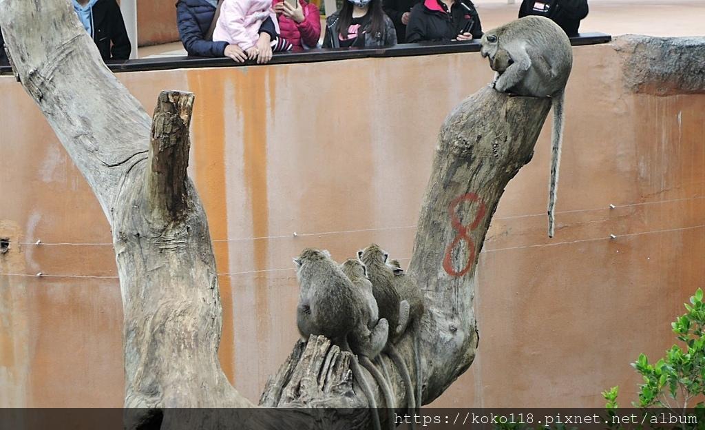 110.2.28 新竹動物園-馬來猴.JPG