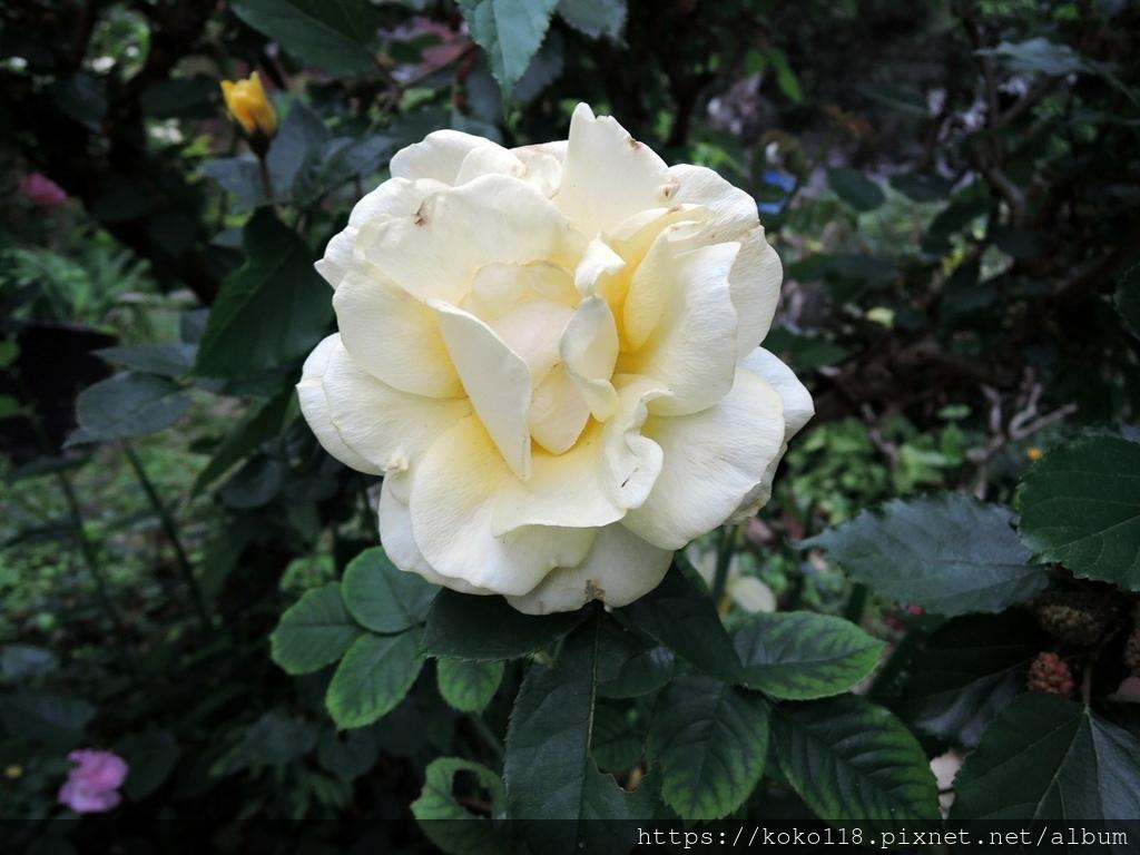 110.3.21 東山濕地生態教學公園-玫瑰1.JPG