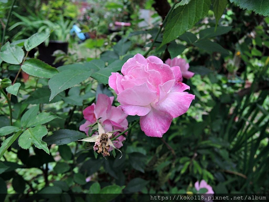 110.3.21 東山濕地生態教學公園-玫瑰2.JPG