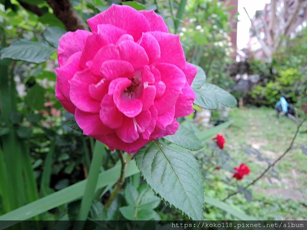 110.3.21 東山濕地生態教學公園-玫瑰.JPG