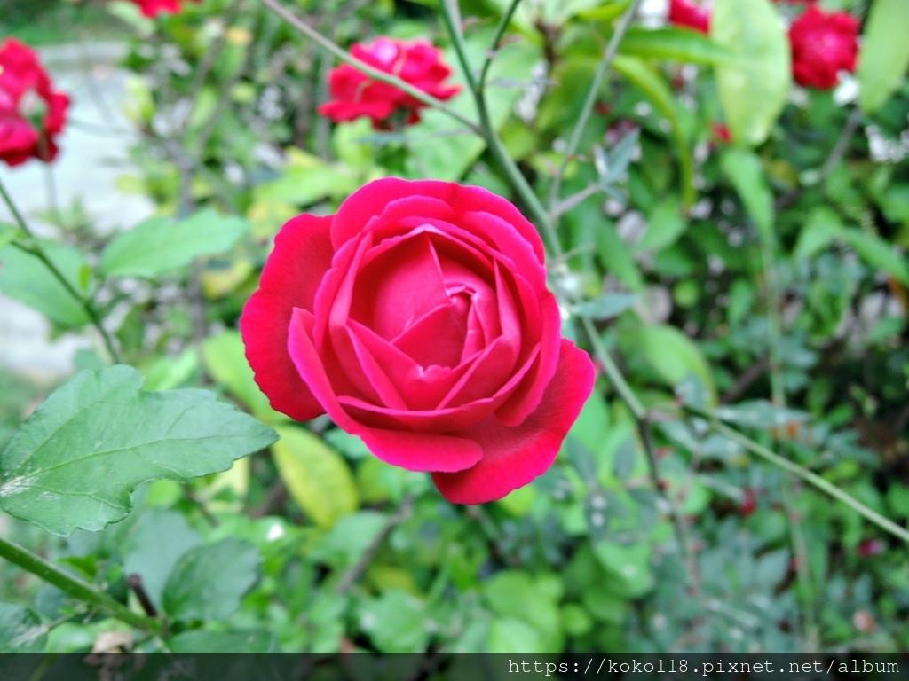 110.3.21 東山濕地生態教學公園-玫瑰8.JPG