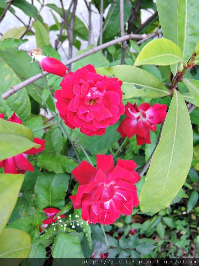 110.3.21 東山濕地生態教學公園-玫瑰9.JPG
