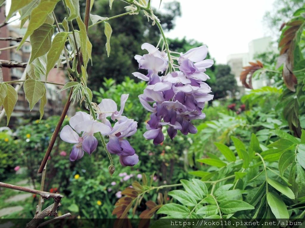 110.3.21 東山濕地生態教學公園-紫藤4.JPG