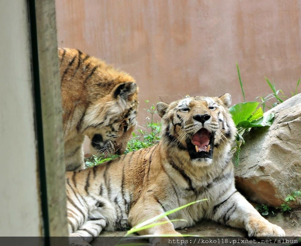 110.3.27 新竹動物園-孟加拉虎9.JPG
