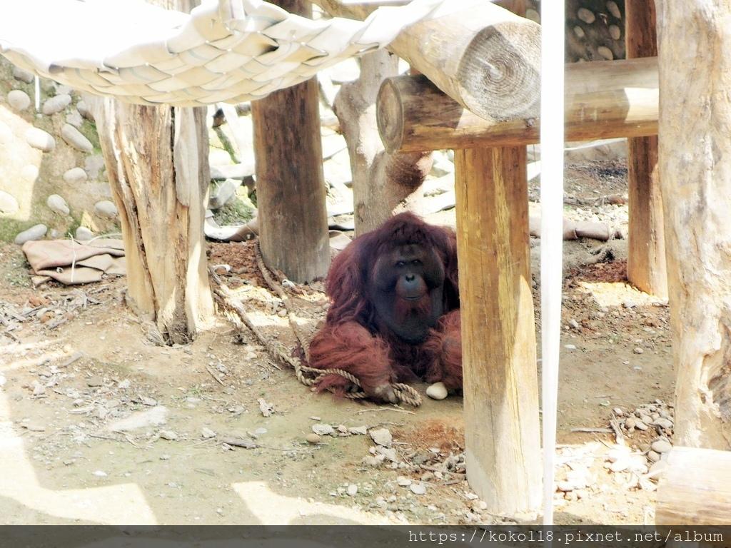 110.3.27 新竹動物園-紅毛猩猩.JPG