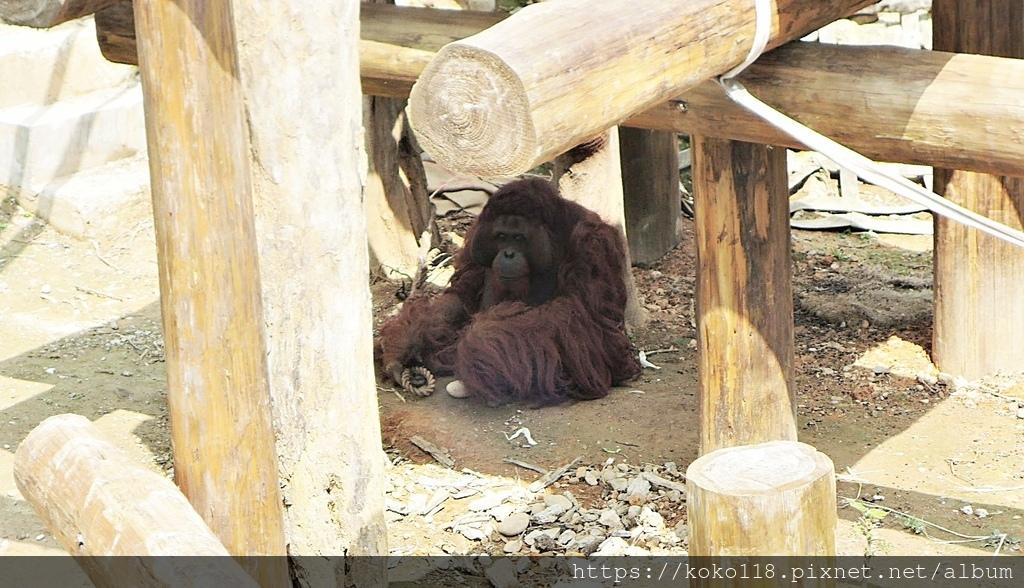 110.3.27 新竹動物園-紅毛猩猩1.JPG