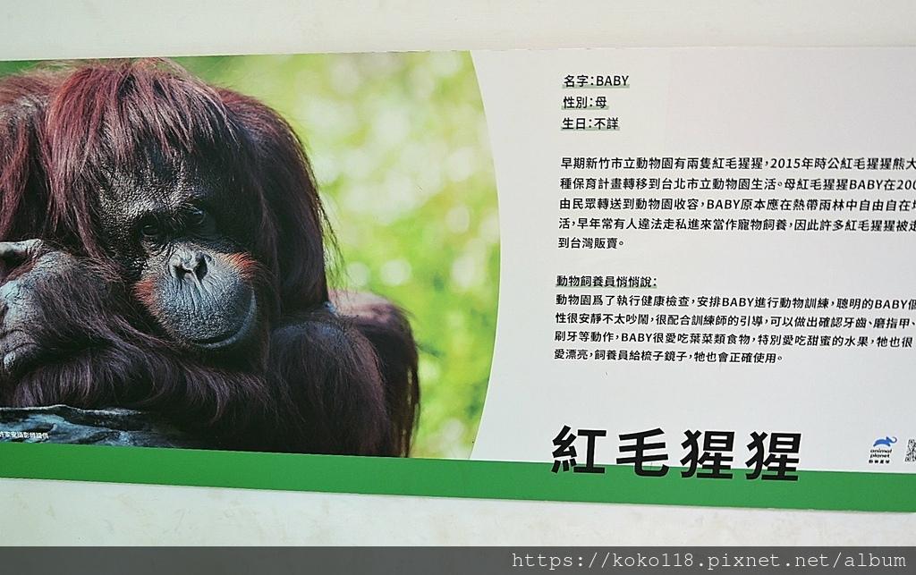 110.3.27 新竹動物園-紅毛猩猩介紹板.JPG