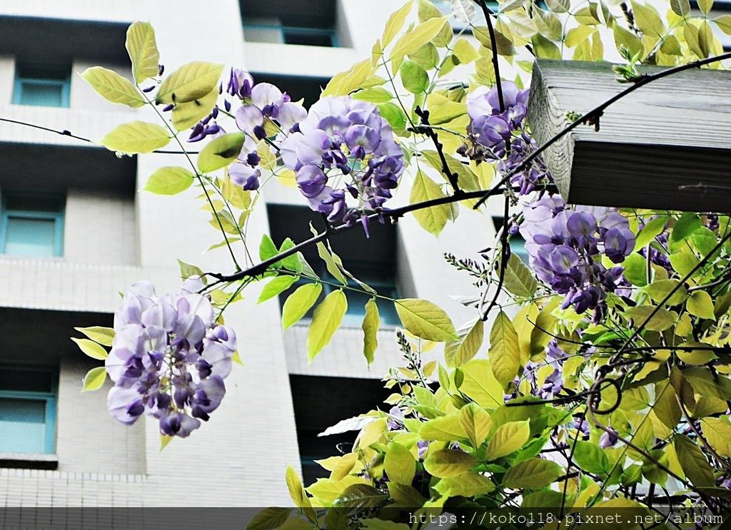 110.3.31 社區-紫藤6.JPG
