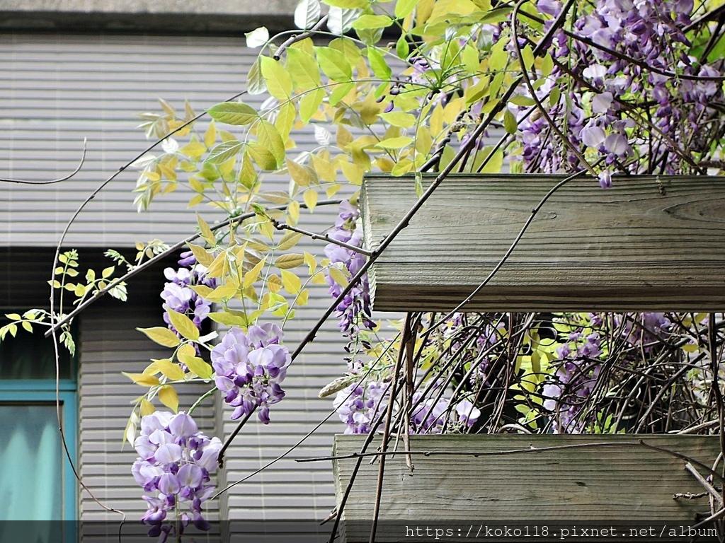 110.3.31 社區-紫藤7.JPG